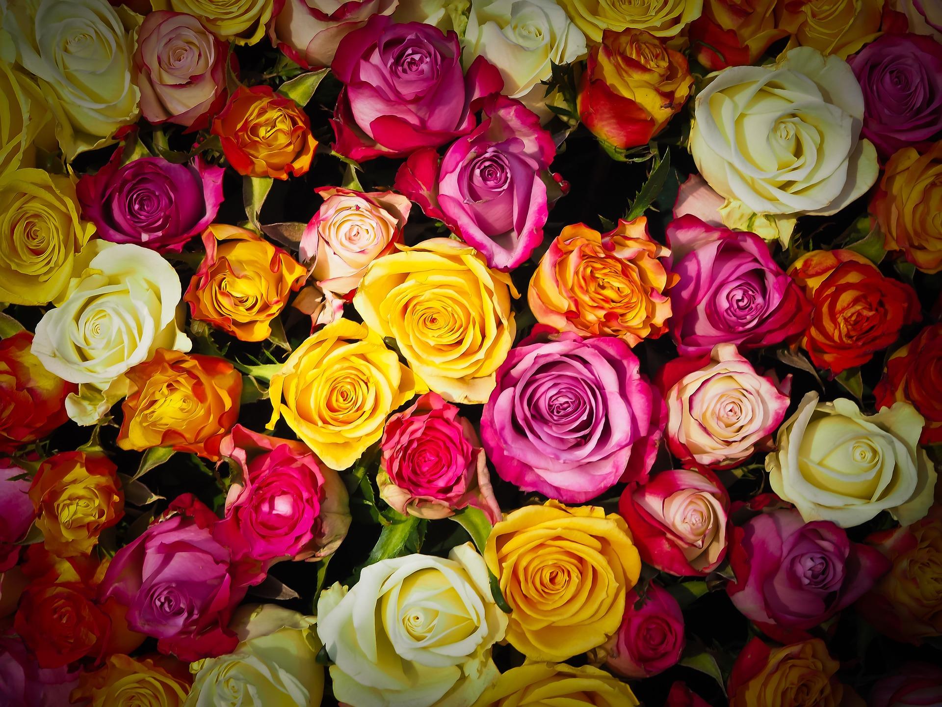 Jak na výsadbu růží